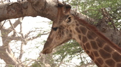 Giraffe in the African savanna - close up, Africa Stock Footage