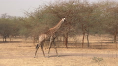 Giraffe walking in the African savanna - Africa Stock Footage