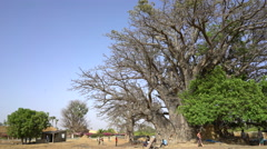 Largest baobab tree in Senegal, Africa - African landscape Stock Footage