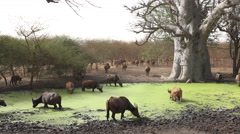 African or cape buffalo herd in the water - Africa Stock Footage