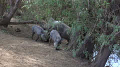 African warthogs in the wild - Africa, Senegal Stock Footage