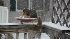 American red squirrel snowstorm feeding Stock Footage