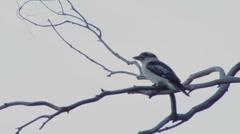 Kokaburra on branch windy sky Stock Footage
