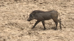 African warthog in the wild - Africa, Senegal Stock Footage