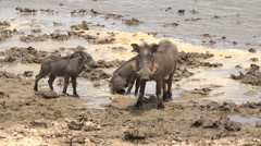 African warthogs in the riverside - Africa, Senegal Stock Footage