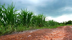 Swing of corn plant leaf in the field with clouds storm and lateritic soil Stock Footage