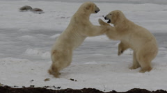 Slow motion -two polar bears test strength on ice by fighting Stock Footage