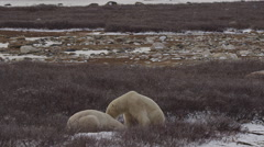 Slow motion - two polar bears wrestle in willows as third walks by Stock Footage