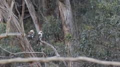 Two kokaburras on branch, one flyes away Stock Footage