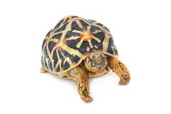 Indian Starred Tortoise eating on white background Stock Photos