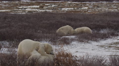 Slow motion - two pairs polar bears spar and wrestle in windy willows Stock Footage