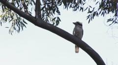Kokaburra on a branch with sky background very windy Stock Footage