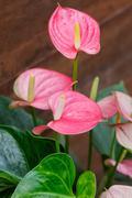 Pink flamingo flower in the botanic garden Stock Photos