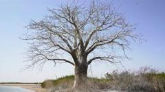 One big tree in a barren landscape Stock Footage