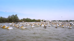 Many pelicans fishing and eating - Djoudj National park, Africa, Senegal Stock Footage
