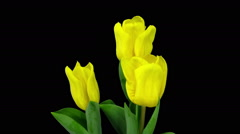 Time-lapse of growing yellow tulip in a pot in RGB + ALPHA matte format Stock Footage