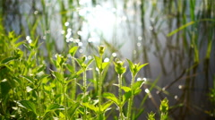 Green shoots of spring grass in field and bokeh of sun light in reflection water Stock Footage