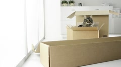 Cat playing with carton boxes Stock Footage