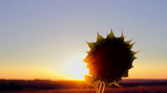 Sunflower head at sunset Stock Footage