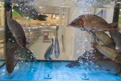 Carp swim in an aquarium Stock Photos
