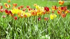 Beautiful tulips in the garden Stock Footage