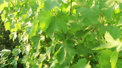 Garden. Panoramic view of a green ripening grapes. Slow motion. HD Stock Footage