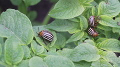 Colorado potato beetle on potato leaves Stock Footage