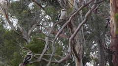 Two kokaburras fighting wind on a vertical branch Stock Footage