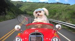 4K High Society Maltese Dog Drives Red Sports Car To Country Club Stock Footage