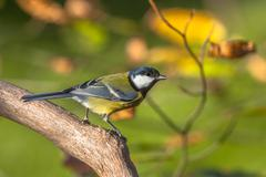Great tit in autumn tree Stock Photos