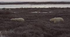 Two wild polar bears walking through the coastal willows Stock Footage