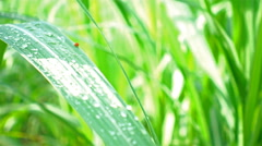 Ladybug on leaves of corn with raindrops in agriculture field Stock Footage