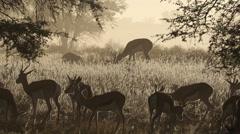 Springbok antelopes in mist, Kalahari desert, South Africa Stock Footage