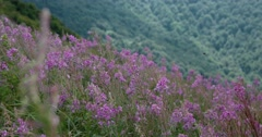 Blooming Purple Fireweed Stems and Flowers Swinging in the Wind Against the Stock Footage