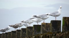 Wild Seagulls at Aberdeen Beach, Scotland, UK Stock Footage