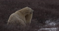 Two polar bears wrestle and fight zoom out to show third watching Stock Footage