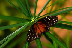 Tropical butterfly scarce bamboo page Stock Photos