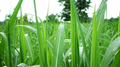 Raindrops on leaves of corn in agriculture field Stock Footage