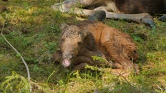 Yawning newborn moose calf  Stock Footage