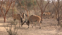 Two greater kudu fighting - Africa Stock Footage