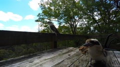Kookaburras eating on the Back Deck in Spring  Stock Footage