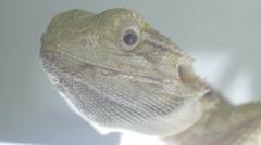 Bearded dragon (pogona) eyes Stock Footage