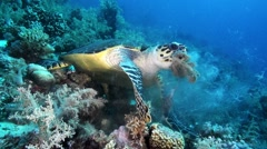 Sea Turtle eating soft coral in Red Sea Stock Footage