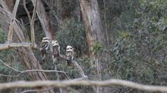 Three kokaburras on a branch poop Stock Footage
