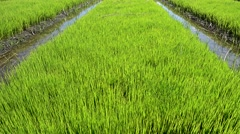 Young rice plants before putting in field Stock Footage