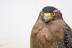 Crested serpent eagle ( Spilornis cheela ) Stock Photos