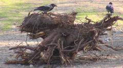 Wild raven search food dry trunk tree wildlife dark bird corvus claw hang forest Stock Footage