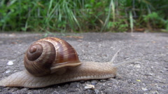 Timelapse snail with spiral house pass on asphalt wild mollusk slug search food Stock Footage