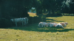 White Cows In Meadow Stock Footage