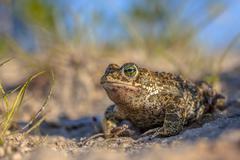 Natterjack toad in sandy habitat Stock Photos